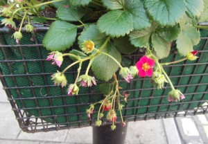 edible flower baskets in Glastonbury