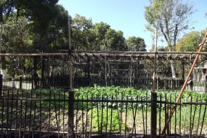 Vegetable patch in Kezhi Gardens