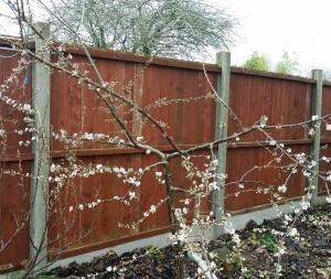plum flowers 2018