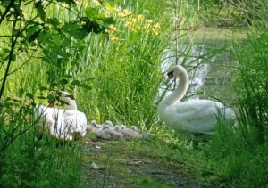 swans guarding young on Town Tree Nature Walk