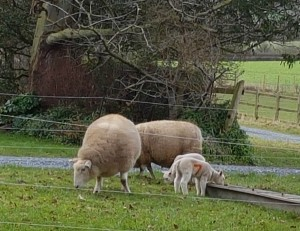 Imbolc lambs